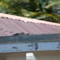 2007 10-Aruba Iguana on Roof||<img src=_data/i/galleries/2_Lances_Favorites/2007 10-Aruba Iguana on Roof-th.jpg>
