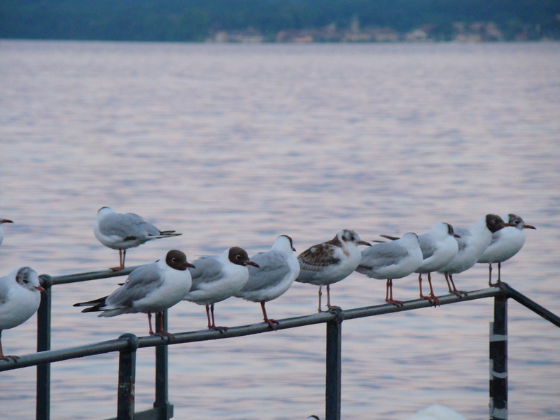 2008 07-Lake Geneva Birds.jpg