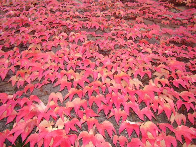 2008 10-Leaves on a Swiss Wall.jpg