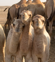 2012 10-Abu Dhabi More Baby Camels