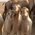 2012 10-Abu Dhabi More Baby Camels||<img src=_data/i/galleries/2_Lances_Favorites/2012 10-Abu Dhabi More Baby Camels-th.jpg>