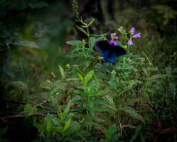 2018 10 - Gatlinburg Tennessee Butterfly1